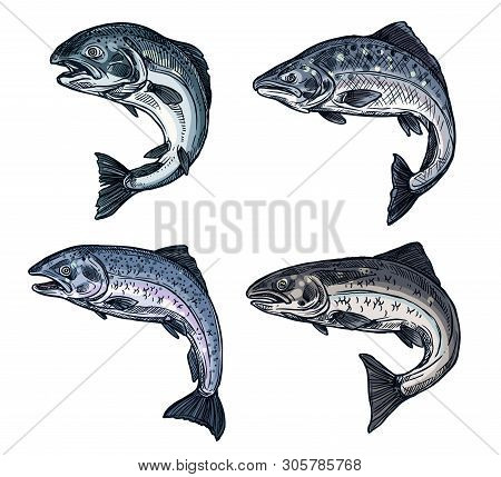 Salmon Or Trout Fish Sketch Icons Of Fishing Industry Or Seafood Restaurant Menu. Vector Freshwater