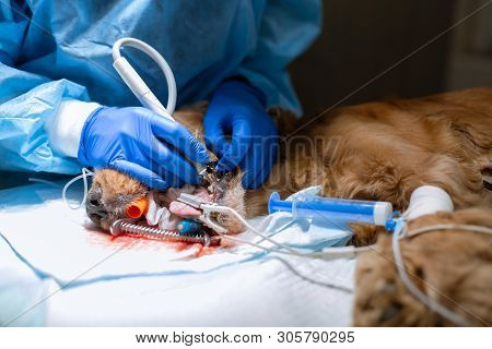 close-up procedure of professional teeth cleaning dog in a veterinary clinic. Anesthetized dog with sensor on tongue. Pet healthcare concept. poster