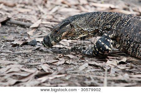 Australian goanna lizard.