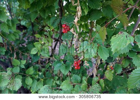 Clusters Of Ripe Poisonous Red Berries Dangle On A Bittersweet Nightshade Plant (solanum Dulcamara)