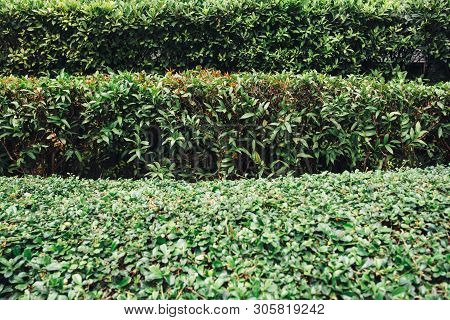 Trimmed Bushes. Several Rows Of Clipped Shrubs Natural Texture