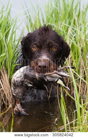 The Dog Comes Out Of The Lake Holding A Duck (teal Drake) In His Teeth During Hunting