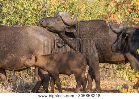 Cape Buffaloes, Syncerus Caffer, In The Mpumalanga Province Of South Africa