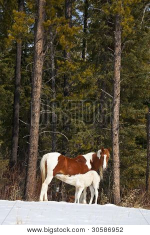 poster of Wild horses, a pinto mare and a white foal, in the wilderness of northern Alberta, Canada.