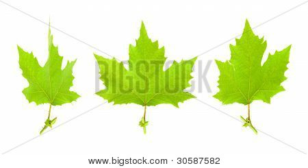 Maple leaves isolated