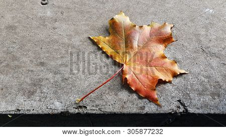 Bright Colorful Maple Leaf With Rough Gray Cement Surface Background. Single Fall Leaf Closeup. Oran