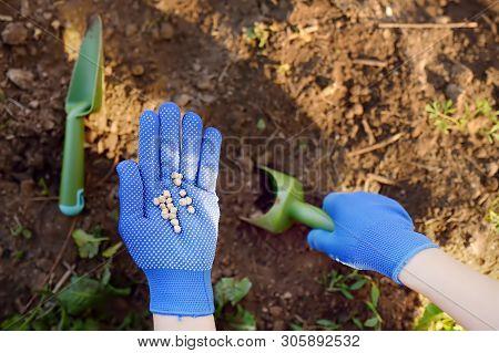 Woman Plants Pea Seeds In Bed In The Garden At Summer Sunny Day. Gardener Hands, Garden Tools, Glove