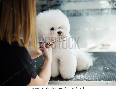 Bichon Fries at a dog grooming salon