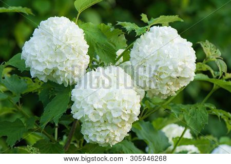 Bush Viburnum Buldenezh Wildly Blooming White Small Flowers Grouped Into Balls Macro