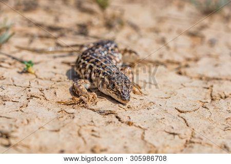 Steppe Runner Lizard Or Eremias Arguta On Dry Ground Close