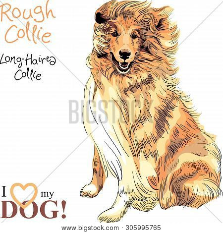 Vector Sketch Of Sweet Dog Sable And White Rough Collie Breed Sitting Hand Drawing Vector