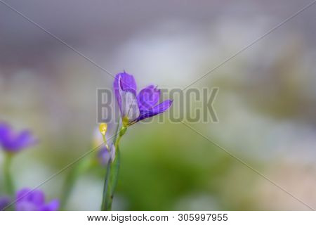 Blue eyed grass flower close up shot