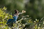 In Yosemite Valley as many as 135 species of birds live or visti for part of the year and the Steller's Jays is the noisy blue bird with the dark head and crest which can be seen all over the Valley poster