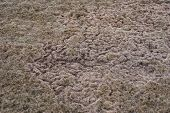 Trails in lawn after snowmelt created by rodents during winter poster