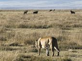 Lioness stalks her prey through the tall grass as a herd of wildebeest look on, in Ngorongoro Crater poster