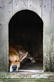 Sad view of an alone brown dog sleeping in the kennel - an old wooden house poster