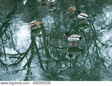 Ducks Walk On Melting Ice. The Frozen Ice On The Surface Of The Pond In The Park Began To Melt. Refl