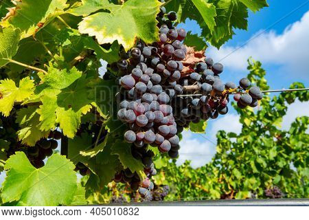 Ripe Black Or Blue Carignan Wine Grapes Using For Making Rose Or Red Wine Ready To Harvest On Vineya