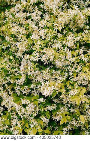 Close-up Of Fragrant Trachelospermum Jasminoides During Flowering.