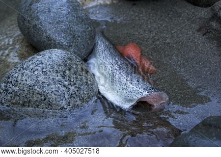 A Cleaned And Gutted Fish Sits In The Cold River Water With It's Eggs (roe) Beside It. Anglers Gut A