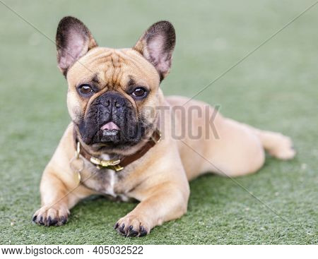 Fawn French Bulldog Puppy Lying Down With Open Mouth And Looking With Curiosity. Off-leash Dog Park