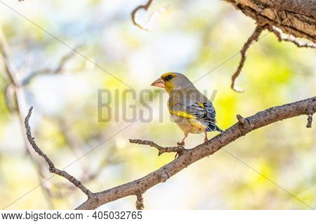 Green And Yellow Songbird, The European Greenfinch Sitting On A Branch In Spring.