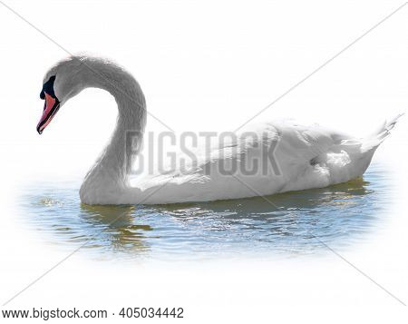 Graceful White Swan Swimming In The Lake, Isolated On White Background. Portrait Of A White Swan Swi