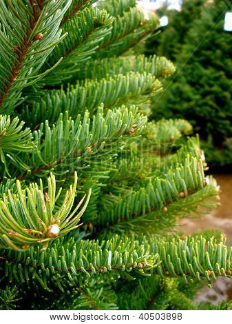 Christmas Tree Fronds