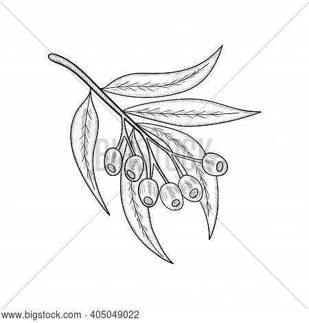 Hand Drawn Eucalyptus Leaves And Fruits. Eucalyptus Plant, Branch, Berry. Sketch Illustration, Isola