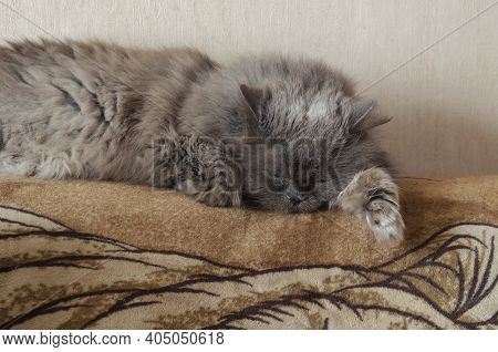 A Gray Seventeen-year-old Cat Sleeps Off The Back Of The Couch. Fluffy Old Cat Is Resting. Life Of P