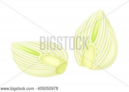 Cross Section Of Florence Fennel Bulb As Raw Crisp Vegetable Vector Illustration