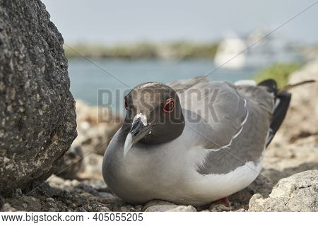 The Swallow-tailed Gull, Creagrus Furcatus, Is An Equatorial Seabird In The Gull Family And The Only