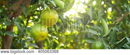 Fresh Ripe Tangerine Mandarin Orange On The Tree In The Orange Garden Orchard.