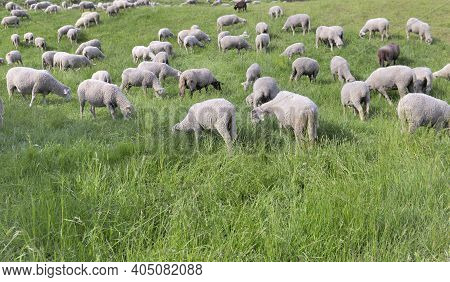 Sheep Flock In Alpine Pasture Grazing In A Greenery Meadow