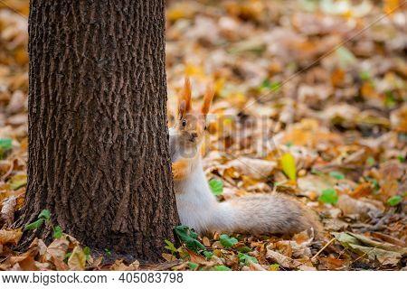Squirrel In Autumn Park Forest. Squirrel With Nuts In Autumn Forest Park Scene. Autumn Squirrel Port