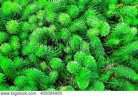 Forest landscape,forest Cypress spurge, sprouts of Euphorbia cyparissias,cypress spurge is a species of plant in the genus Euphorbia. Summer forest view