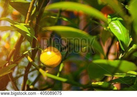 Summer background. Kumquat fruits in summer garden, closeup. Fortunella margarita kumquats, cumquats foliage and orange fruits on kumquat summer tree, summer garden background