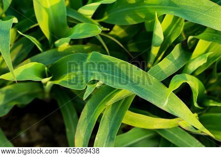Green Maize Leaf Or Corn Tree Plant And Also Maize Is An Annual Grass In The Family Gramineae