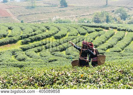 Farmer Picking Tea Leave In The Terraced Tea Fields. Two Woman Collecting Some Green Tea Leaf.tea Is