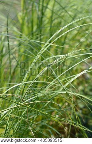 Pampas Grass Silver Mini Leaves - Latin Name - Cortaderia Selloana Silver Mini