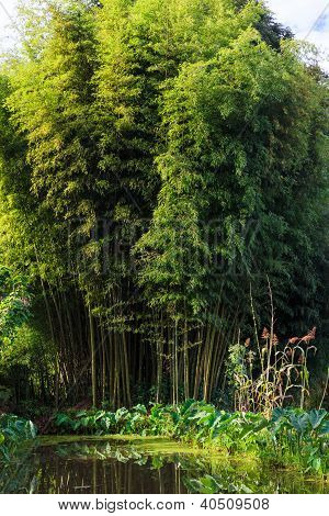 Bamboo Forest In Morning Light