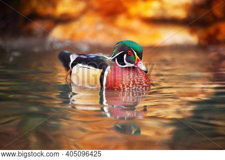Duck Bird In A Lake. Swimming Ducky.