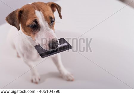 An Obedient Smart Dog Holds A Bank Card In His Mouth On A White Background. Copy Space