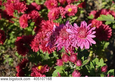 Cerise Pink Flowers Of Chrysanthemums In Mid October