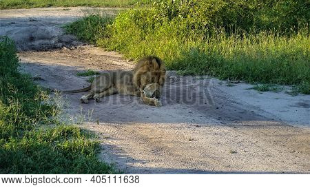 An Adult Wild Lion Is Resting In The Shade On A Dirt Road. The Muzzle Is Covered With A Paw. There A