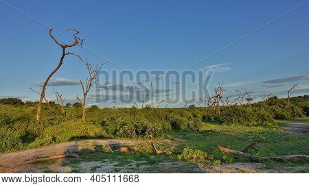 Savannah Landscape At Golden Hour. Curved Trunks Of Dry Trees Against The Blue Sky. There Are Green