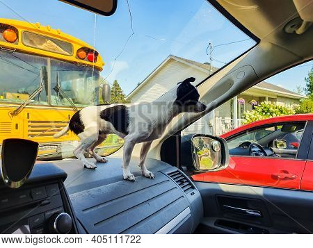Close Up Shot Of A Little Black And White Chihuahua Dog Standing On The Dashboard Of A Car Parked Ne