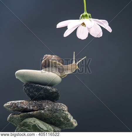Helix Pomatia. Snail On A Stone Pyramid Stretches To Reach A White Flower. Mollusc And Invertebrate.
