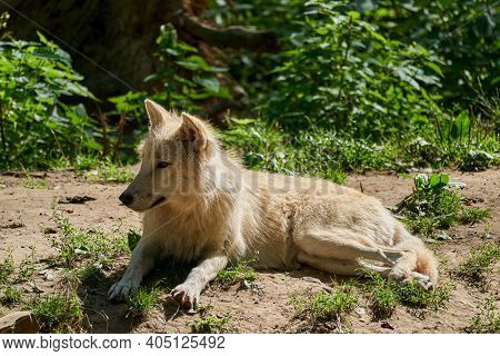 Big And White Hudson Bay Wolf, Lives In The Artic And At The Northwestern Coast Of Hudson Bay In Can