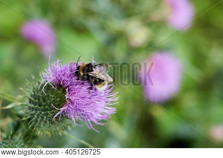 Bombus Terrestris, Large Earth Bumblebee, Buff Tailed Bumblebee  Sitting On A Violet Blossom Of A Th